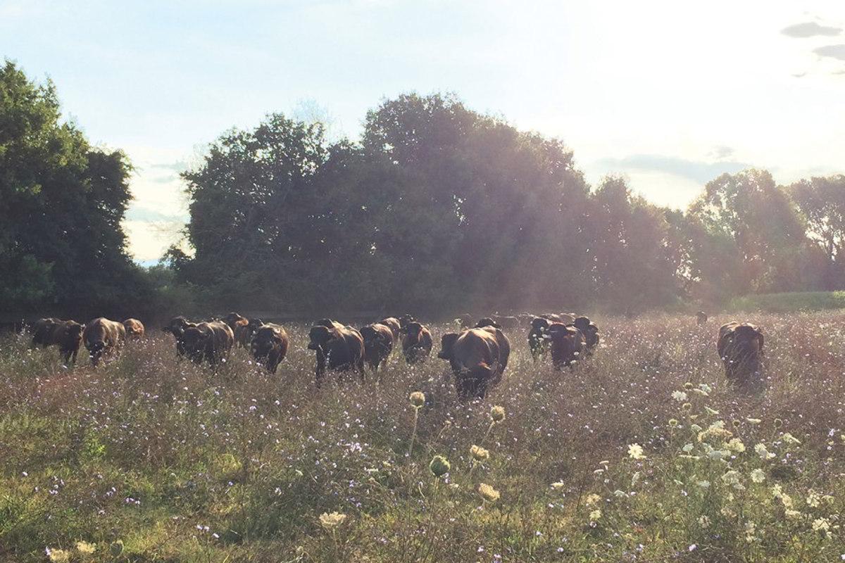 allevatori di bufale